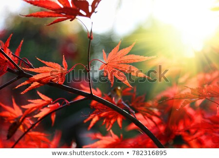 Acer Maple tree red leaves close-up  Stock photo © AlessandroZocc