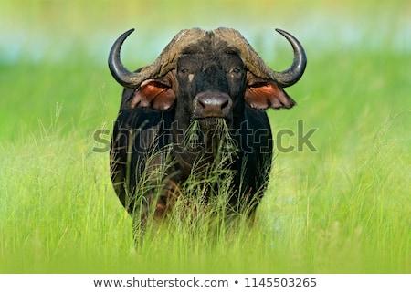 Big African buffalo bull in the grass. Stock photo © simoneeman