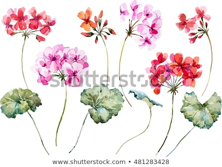 colorful red spring flowers geranium Stock photo © sherjaca