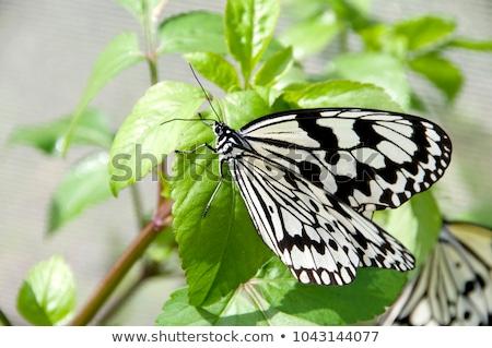 Büyük ağaç kelebek fikir iki kelebekler Stok fotoğraf © Arrxxx
