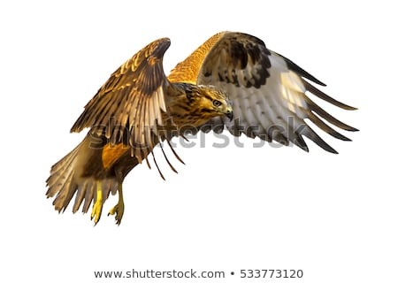 Stock photo: falcon on the attack