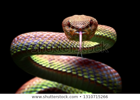 Angry snake  Stock photo © dagadu