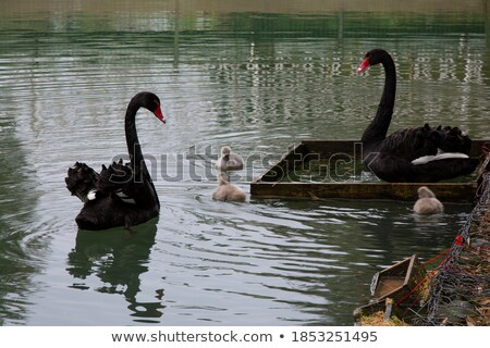 Parent swan with offspring Stock photo © AlessandroZocc