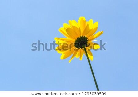 żółte kwiaty Błękitne niebo piękna kwiat wiosną charakter Zdjęcia stock © illustrart