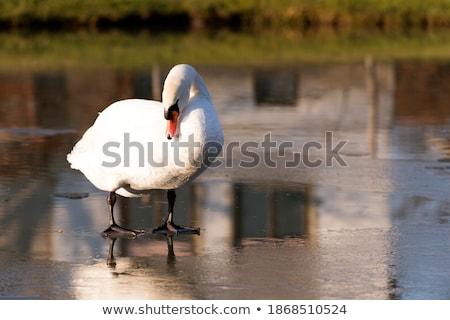 néma · fagyott · tó · csoport · kacsa · nagyszerű - stock fotó © mobi68