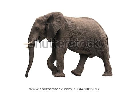 profilo · elefante · guardando · fotocamera - foto d'archivio © timwege