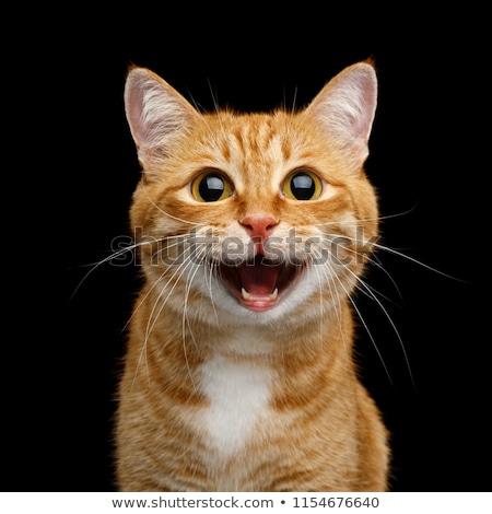 Zencefil kedi portre yüz beyaz bakmak Stok fotoğraf © Lessa_Dar
