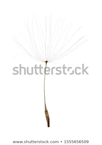 dandelion with seeds flying stock photo © zzve