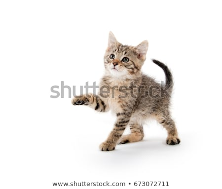 Cute tabby kitten on a white background. stock photo © gabes1976
