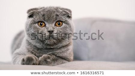 Kedi yalıtılmış beyaz gözler fare güzellik Stok fotoğraf © silense