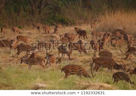 Genç geyik park Hindistan Asya yeme Stok fotoğraf © faabi