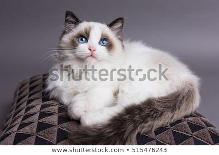 macska · kép · piros · baba · kék · macskák - stock fotó © willeecole