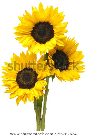 Sunflowers in Bundle Isolated on White Stock photo © ambientideas