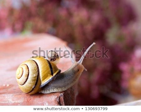 caracol · flor · blanca · pequeño · alimentos · hierba · jardín - foto stock © bbbar