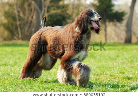 Afghan hound dog walking Stock photo © raywoo