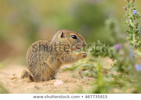 south african ground squirrel stock photo © romitasromala