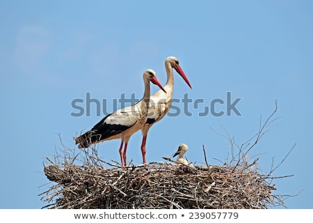 Pair of White Storks in Nest Stock photo © stevanovicigor