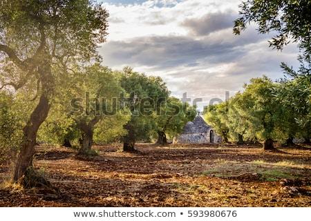古い · オリーブの木 · 地中海 · オリーブ · フィールド · 準備 - ストックフォト © compuinfoto