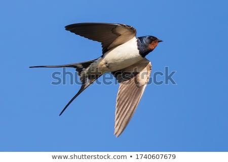 celeiro · imaturo · pássaro · arame · temporada - foto stock © suerob