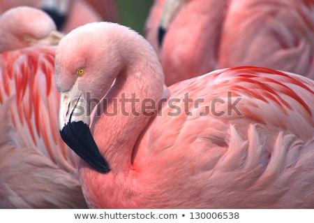 néz · rózsaszín · sereg · színes · madarak · gyönyörű - stock fotó © jeffmcgraw