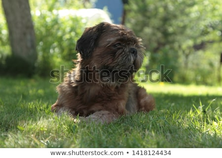 The portrait of funny Shih Tzu in the garden Stock photo © CaptureLight