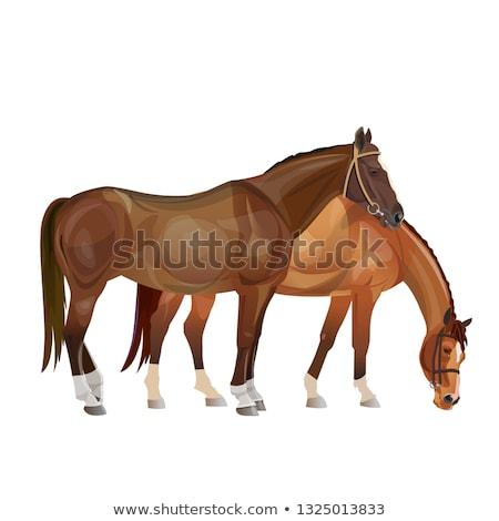 Pair of brown arabian horses grazing Stock photo © stevanovicigor