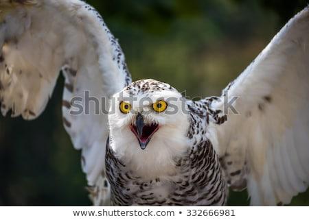 baykuş · dışarı · gözler · kuş · tüy · portre - stok fotoğraf © kayco
