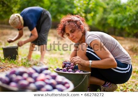 Women picking plums stock photo © funix