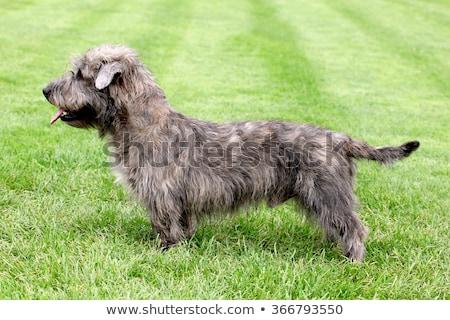 typowy · psa · zielona · trawa · trawnik · wiosną · ogród - zdjęcia stock © capturelight