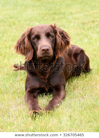 Typical  German Spaniel     on a green grass lawn Stock photo © CaptureLight