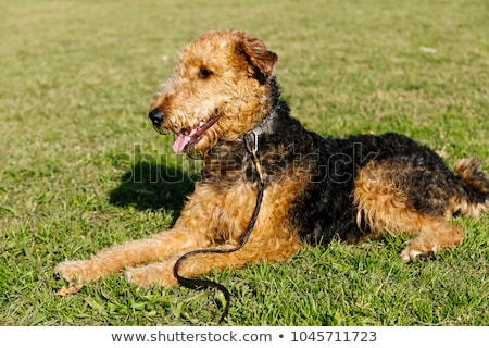 Terrier zöld fű gyep tipikus szomorú vicces Stock fotó © CaptureLight