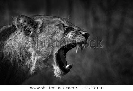 Oldal profil oroszlán park Dél-Afrika állatok Stock fotó © simoneeman