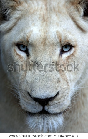 Close up of a Lion eye in black and white in the Kruger. Stock photo © simoneeman