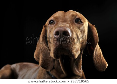 Stock photo: Hungarian vizsla looking sideways in dark background