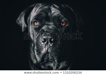 puppy cane corso in white background photo studio stock photo © vauvau
