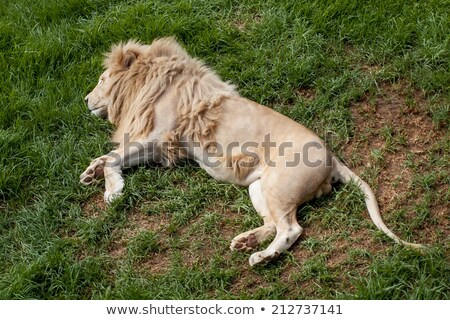 young male lion laying in the grass stock photo © simoneeman