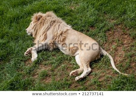 Fiatal férfi oroszlán fektet fű park Stock fotó © simoneeman