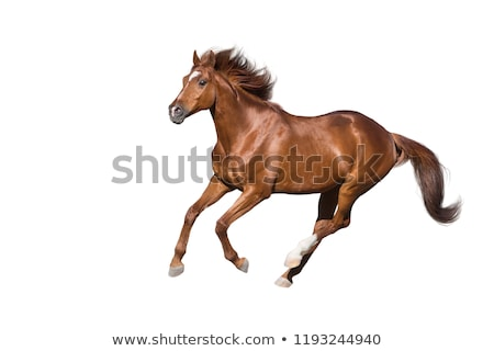 brown horse on white background stock photo © bluering
