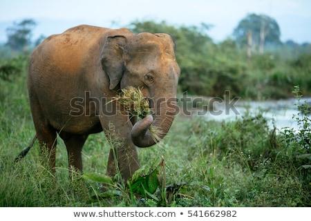 elephant eating grass stock photo © hofmeester