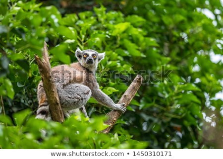 lemur catta monkey with long tail Stock photo © compuinfoto