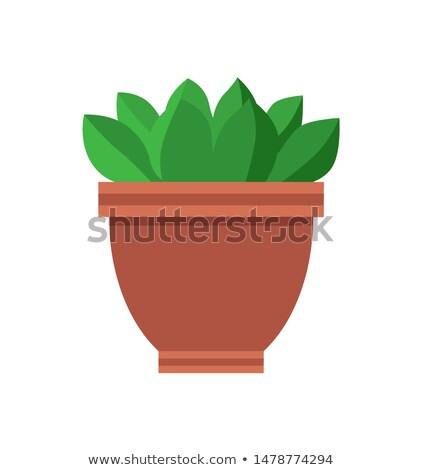 Green Ficus with Short Glossy Leaves in Clay Pot Stock photo © robuart