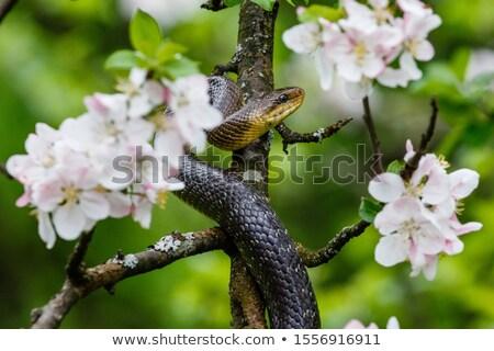 beautiful portrait of aesculapian snake Stock photo © taviphoto