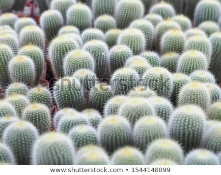Amarillo torre cactus jardín verde grupo Foto stock © boggy