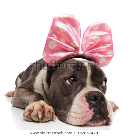 curious american bully wearing pink ribbon with white dots Stock photo © feedough