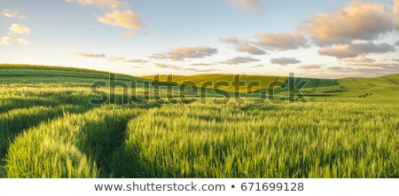 wheat and rapeseed fields with blue sky and clouds in spring stock photo © simazoran