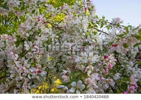 カニ リンゴの木 カバー ピンク 桜 ストックフォト © sarahdoow