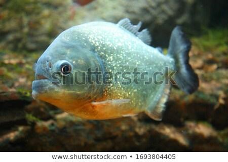 Piranha aquário natureza verde azul Foto stock © galitskaya