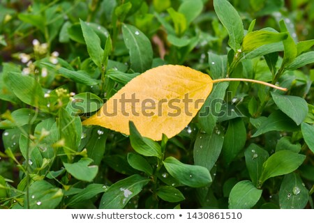 Yellow Leaves on Grass Stock photo © smithore