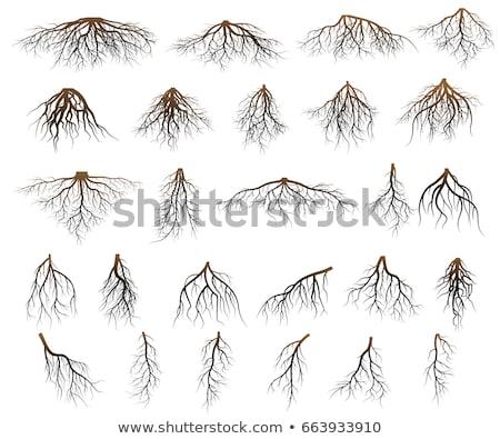 raízes · velho · árvore · resistiu · abstrato - foto stock © fyletto