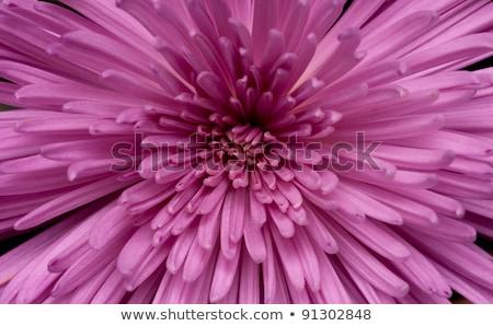 Chrysant najaar bloem bloemen natuur Stockfoto © goce
